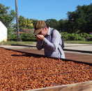 Récolte Chocolat